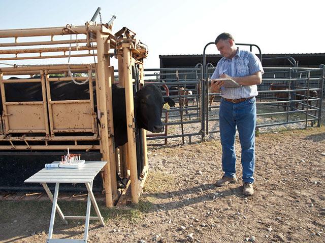 Коровы - Искусственное осеменение - иностранный опыт - razvedenie