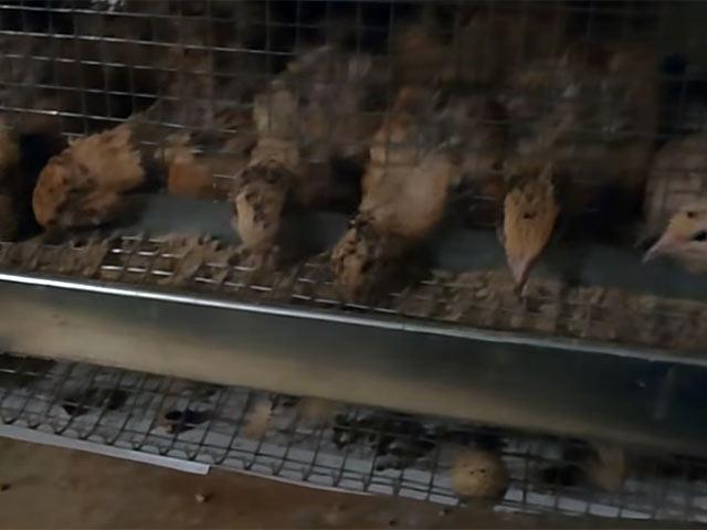 - Маньчжурские перепела - porody-domashnej-ptitsy, porodi