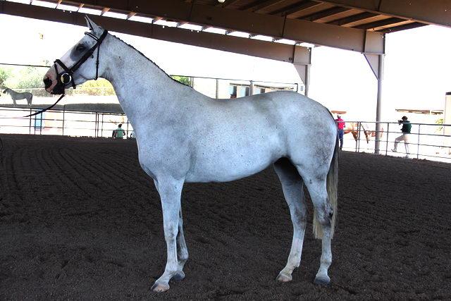 Лошади - Продажа и покупка лошадей - interesnoe
