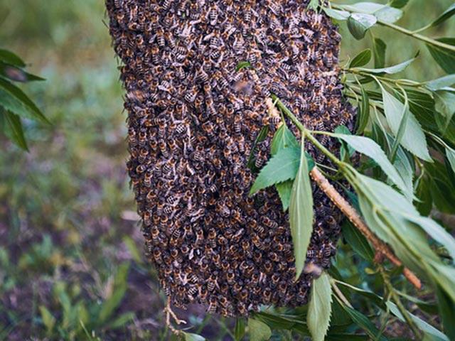 - Как предотвратить роение пчел? - pchelovodstvo