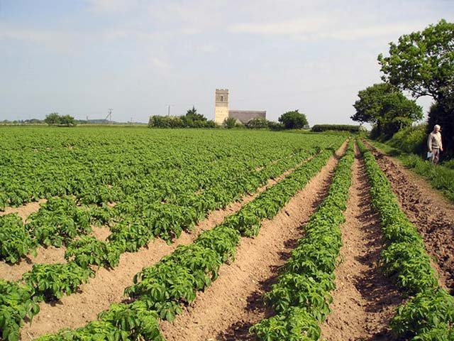 - Картофель: от посадки до сбора урожая - sad-i-ogorod