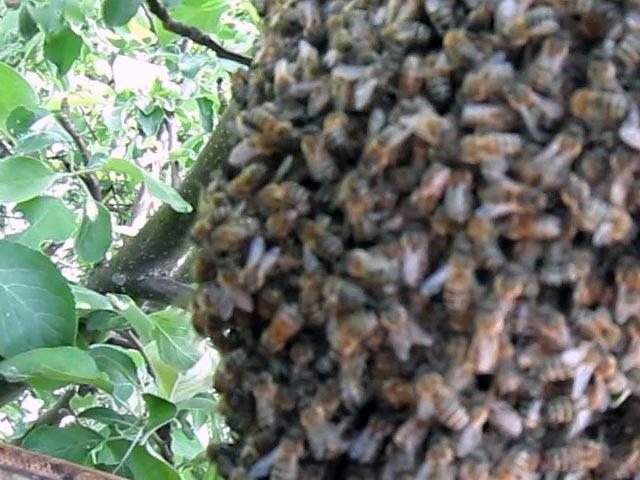 - Как размножаются пчёлы? - pchelovodstvo