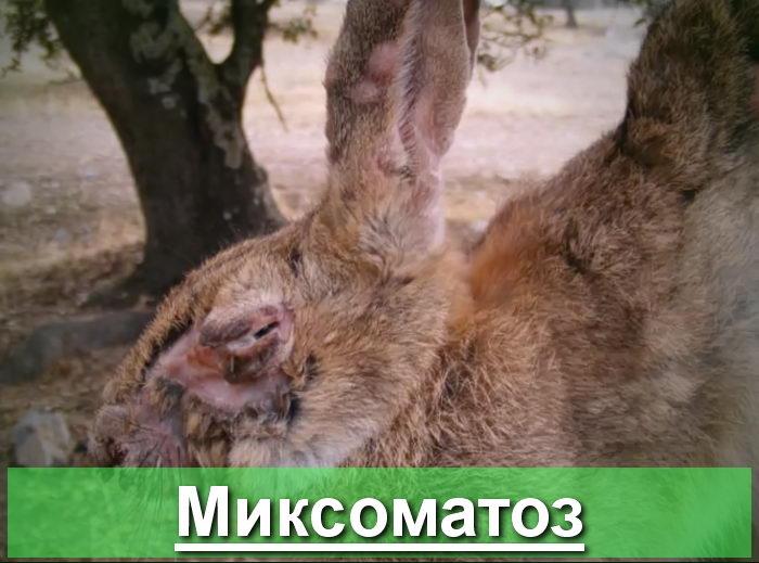 Кролики - Миксоматоз кроликов: профилактика и лечение - veterinarija