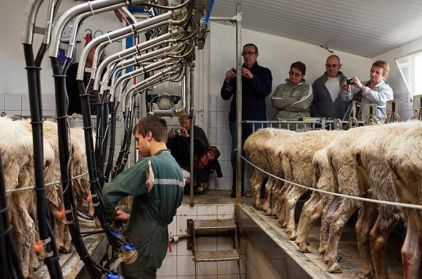 Овцы - Дают ли овцы молоко: строки о молочном овцеводстве - moloko