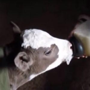 Телята, Коровы - Отъем телят и кормление старше 3 месяцев - kormlenie-i-ratsiony-dlya-krs