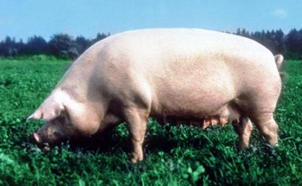 Свиньи - Уржумская порода свиней: характерные особенности - porody-svinej