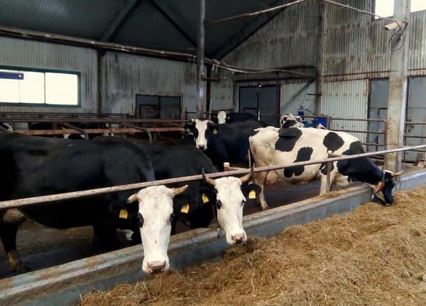 Коровы - Ярославская порода коров - porody-krupnogo-rogatogo-skota
