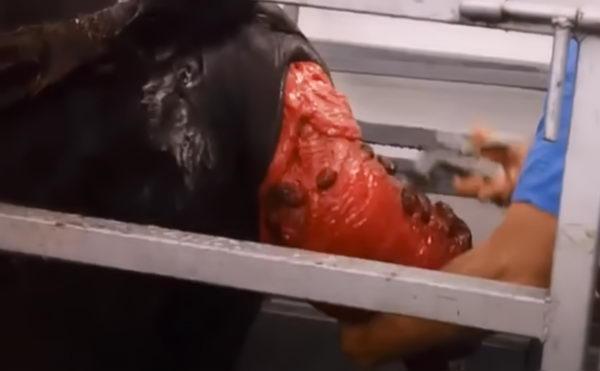 Коровы - Осложнения у коров после отела - stelnost-i-otel, veterinarija