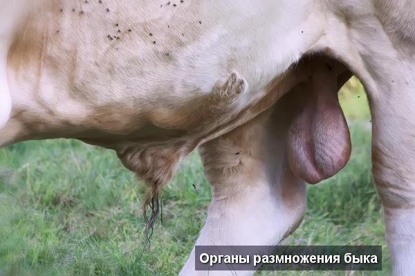 Коровы - Половые органы быка: строение и функции - interesnoe, anatomiya-i-fiziologiya