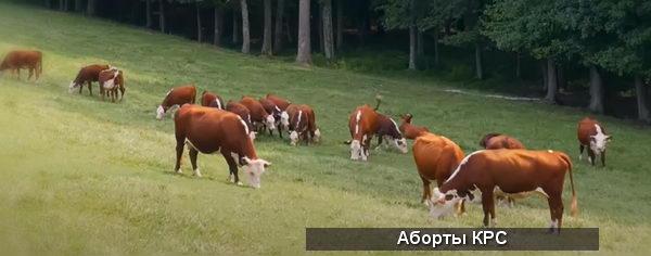 Коровы - Выкидыш у коровы: причины аборта КРС - stelnost-i-otel, veterinarija