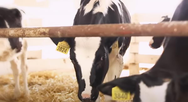 Телята, Коровы - Бронхит телят: лечение и профилактика воспаления бронхов КРС - veterinarija